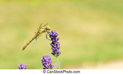 dragonfly on lavender