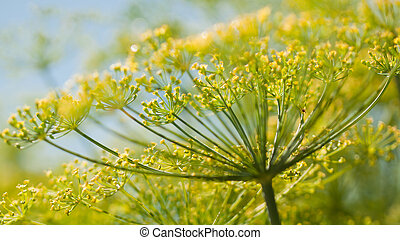 Dill in Bloom - This herb resembles a finer, more delicate...