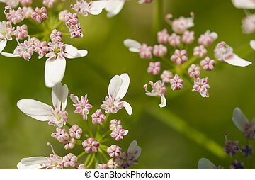 Cilantro in Bloom - Cilantros flavor is described by some as...