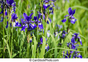 Iris plant - a bunch of iris plants with beautiful yellow...