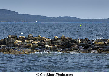 Seals on rocks - Seals sitting on rocks in Bar Harbor Maine
