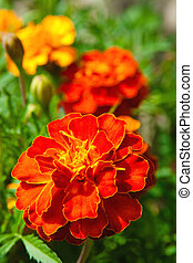 Tagetes - Orange Flowers (Tagetes) on the background of...