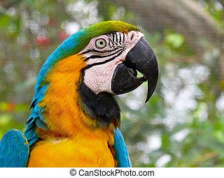 azul, amarillo, papagallo, sur, América