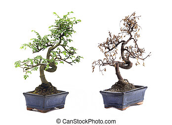 before and after - green and death bonsai tree Isolated on...