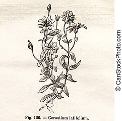 Vintage flowers illustrations - Vintage Cerastium Latifolium...