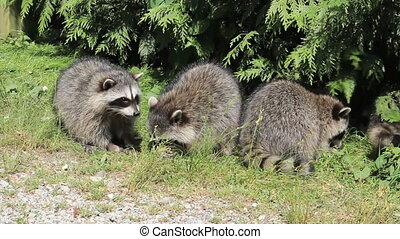 Raccoons Fighting Over Food - Two raccoons get into a fight...