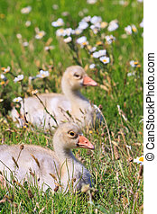 Youngsters of white-fronted goose