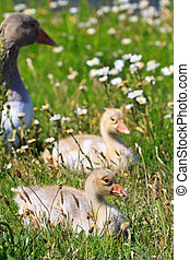 white-fronted goose with youngsters