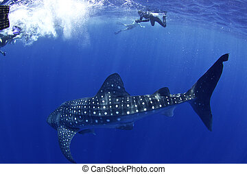 whale shark with snorkellers