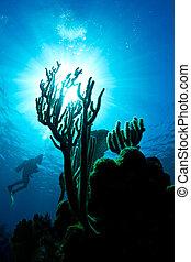 Un, buzo, admirativo, coral, arrecife, honduras
