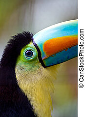 tocan eye - Close up of a beautiful keel bill toucans big...
