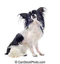 chihuahua - portrait of a cute purebred chihuahua in front...
