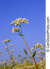 Buckwheat inflorescence on the background of buckwheat...