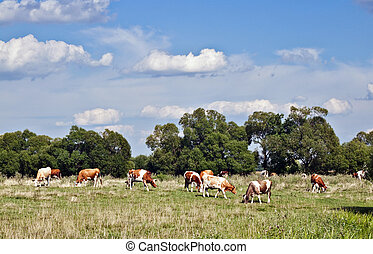 cows in field  - grazing cows in a field on a clear day
