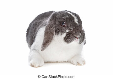 angora rabbit in front of a white background