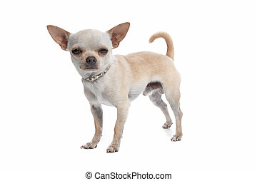 short haired chihuahua
