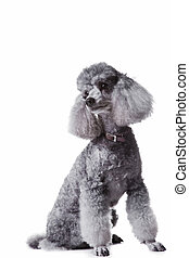 Portrait of obedient small gray poodle with collar on...