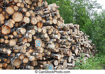 Stack of birch logs in forest