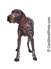 German Shorthaired Pointer in front of a white background