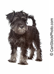 Miniature Schnauzer in front of a white background