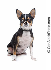 short-haired tricolor Chihuahua
