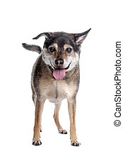 old mixed breed dog in front of a white background