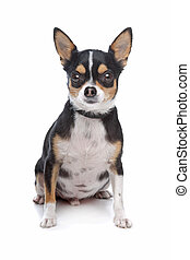 short-haired tricolor Chihuahua in front of a white...