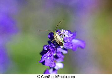 Alfalfa Plant Bug Adelphocoris lineolatus on Purple Salvia...