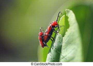 Red Milkweed Beetle Tetraopes tetraophthalmus mating