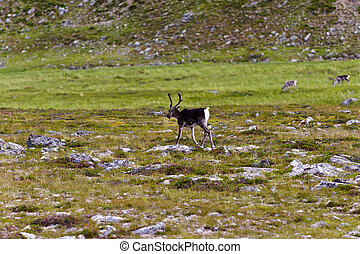 Reindeer graze on the tundra, Norway