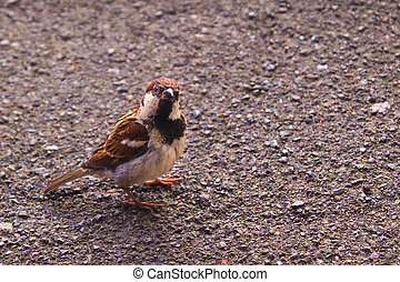 Sparrow in the park of Lugano city