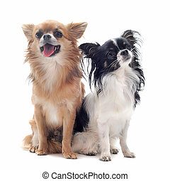 two chihuahuas - portrait of a cute purebred chihuahuas in...