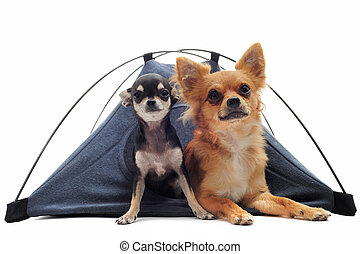 puppy and adult chihuahuas in tent - portrait of a cute...