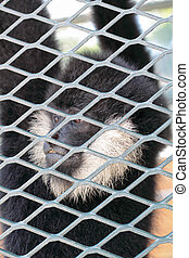 Close-up of a Hooded Capuchin Monkey contemplating life behind bars in a big city zoo,