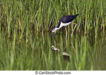 Black-Necked Stilt Foraging - Black-Necked Stilt (Himantopus...