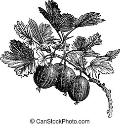 Gooseberry (Ribes grossularia) vintage engraving. Old...