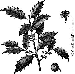 American Holly or Ilex opaca vintage engraving - American...