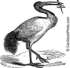 African Sacred Ibis or Threskiornis aethiopicus vintage...