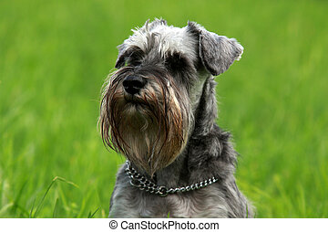 schnauzer - beautiful portrait of miniature schnauzer in the...