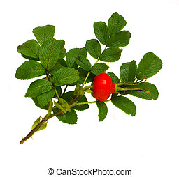 rose hip branch isolated on wnite background