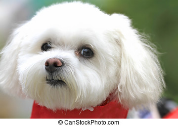 Serious Dog Face - Cute and lovable serious dog face. Bichon...