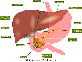Anatomy of liver and gall bladder - Illustration of anatomy...