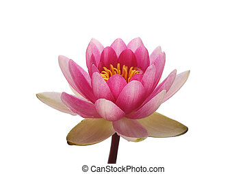 Blossom pink lotus flower head against the white background