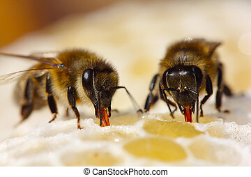 el, proceso, convertir, néctar, miel