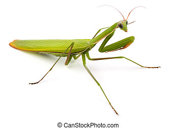 Mantis - Praying mantis (Mantis religiosa) isolated on white...