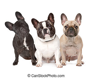 three French Bulldogs in a row