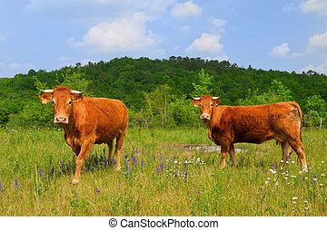 Brown French Limousin cows in fields full of wild Thyme
