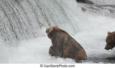 An Alaskan brown bear waits for salmon at Brooks Falls in...