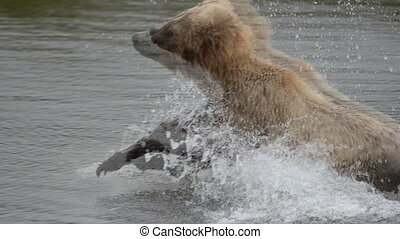 Alaskan brown bear running - An Alaskan brown bear chasing...