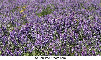 Purple wildflowers - blue wildflowers in the meadow, full hd...